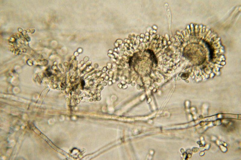 Micrografia de molde de pão Aspergillus