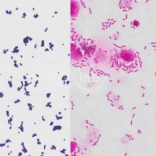 bacter gram final